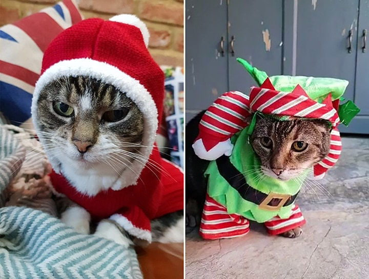 Cats dressed in christmas outfits
